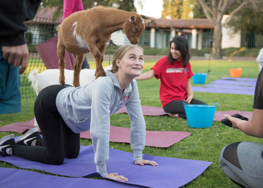 A girl in down dog yoga pose smiling up at a goat on her back